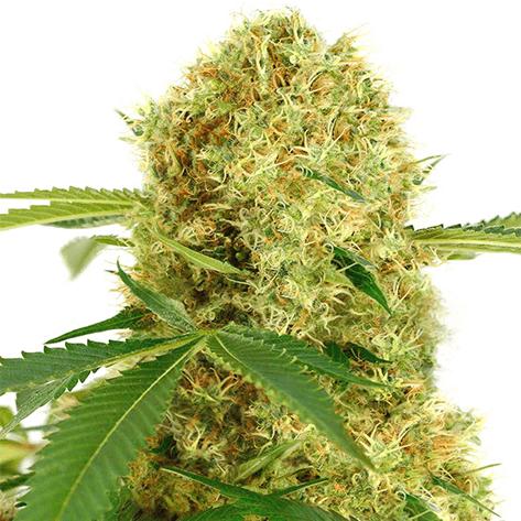 pacific northwest cannabis strains