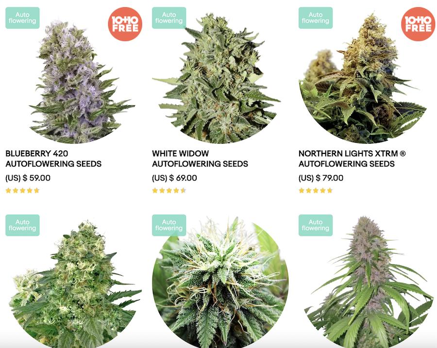 AmsterdamMarijuanaSeeds.com seed selection