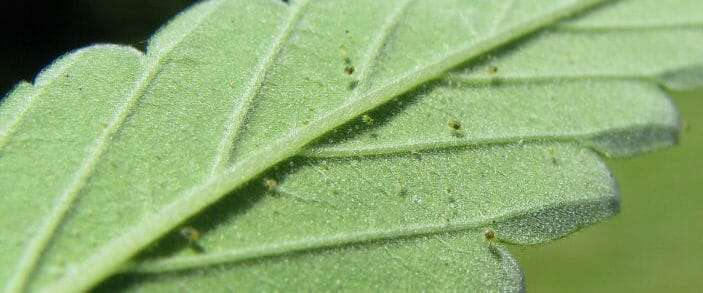 Spider Mites On Your Cannabis Grow