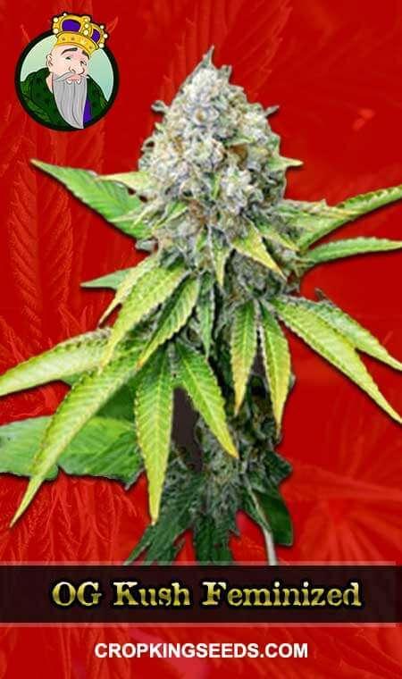 OG Kush strain to grow in Maine